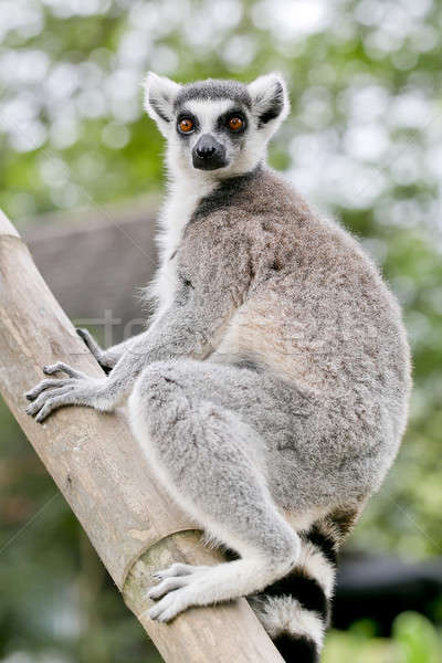 ring-tailed lemur (lemur catta) Stock photo © art9858