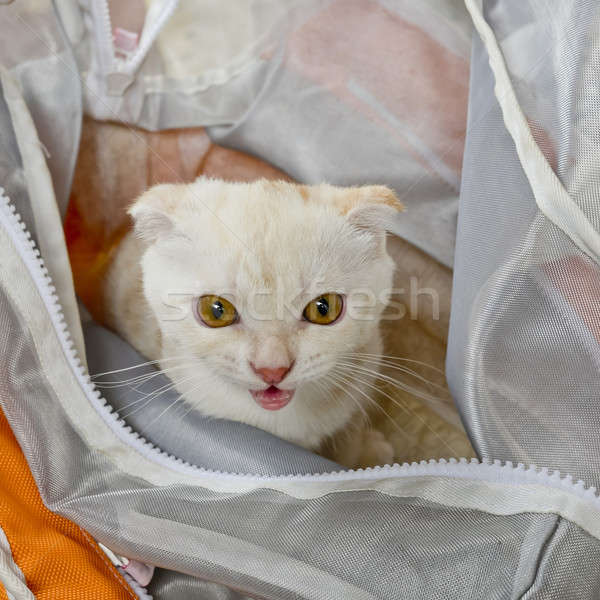 Baby white cat in plastic bag looking Stock photo © art9858