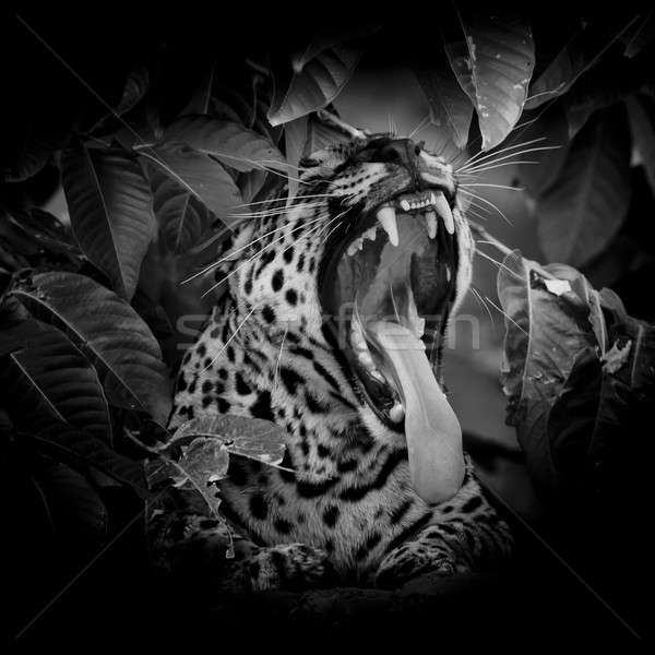 black & white Leopard portrait sticking out tongue in wild isola Stock photo © art9858