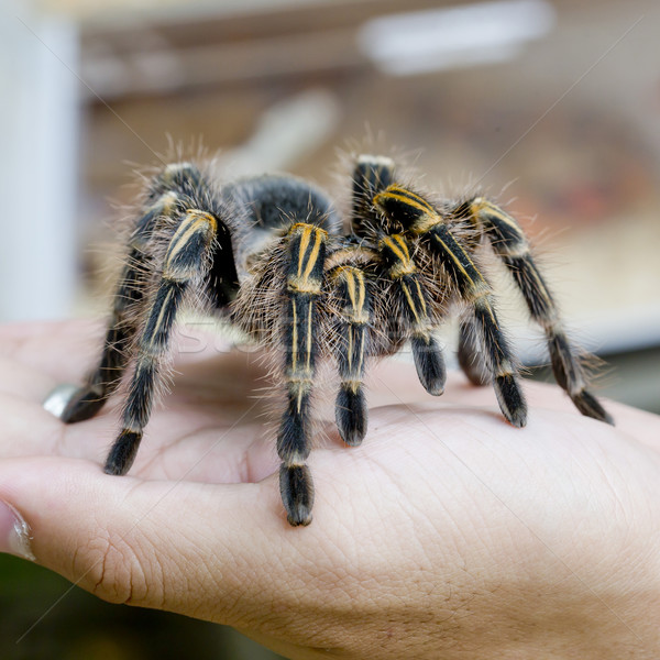 Mexican redknee tarantula (Brachypelma smithi), spider female in Stock photo © art9858
