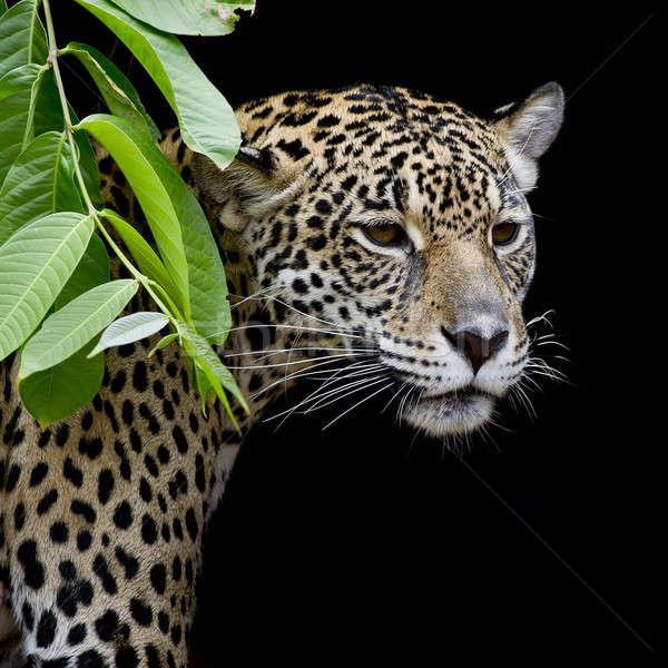 Jaguár portré szem arc macska háttér Stock fotó © art9858