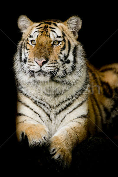 A tiger ready to attack Stock photo © art9858