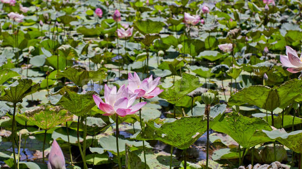 Blossom pink water lotus. Pink water Lily. Stock photo © art9858