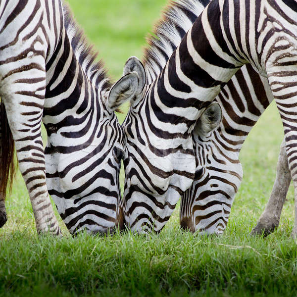 group of zebras Stock photo © art9858