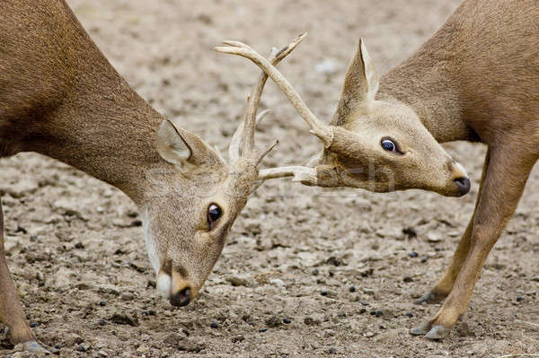 Young Red Deer males rutting Stock photo © art9858