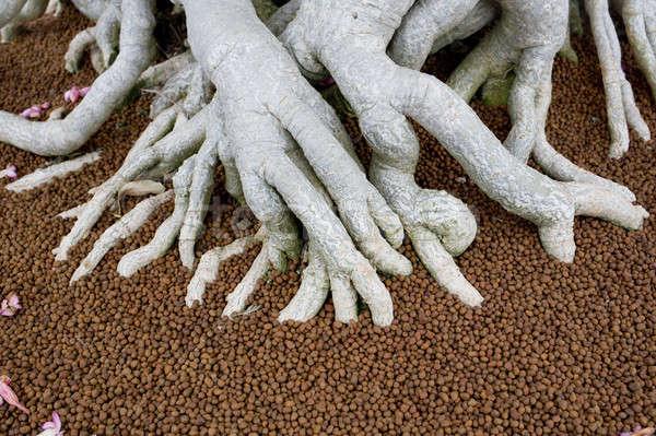 Grande raízes bonsai árvore natureza folha Foto stock © art9858