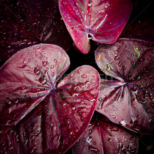 red leave with water drop background Stock photo © art9858