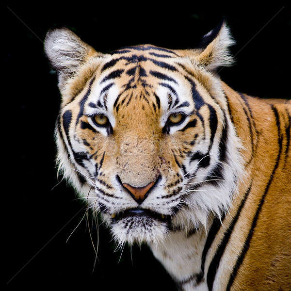 Tiger, portrait of a bengal tiger. Stock photo © art9858