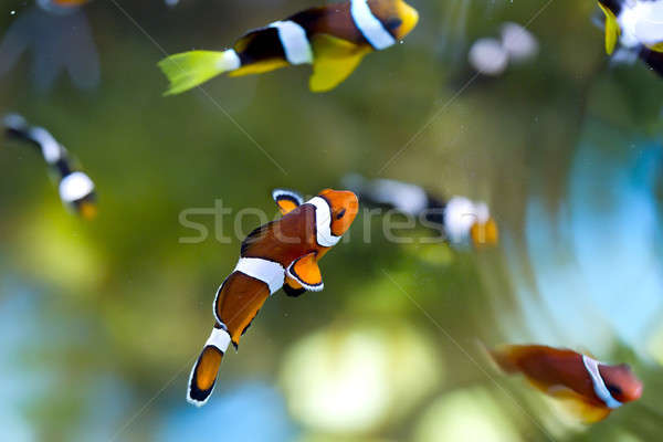 reef fish , clown fish or anemone fish Stock photo © art9858