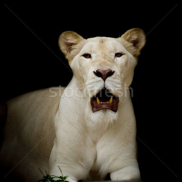 Closeup of white lion Stock photo © art9858