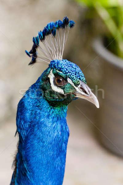 Stockfoto: Mooie · hoofd · pauw · natuur · schoonheid