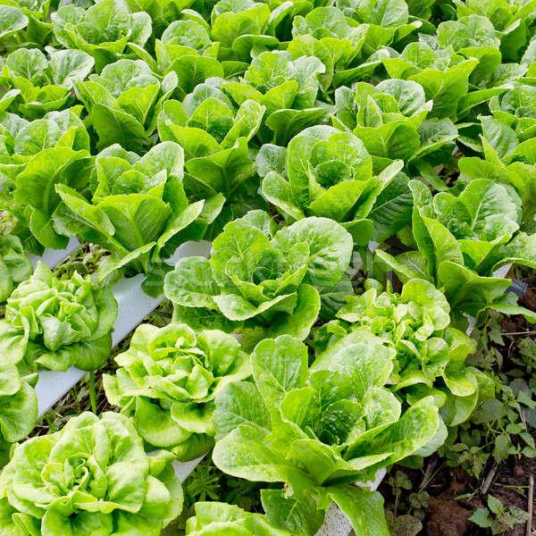 Orgânico vegetal fazenda folha jardim planta Foto stock © art9858