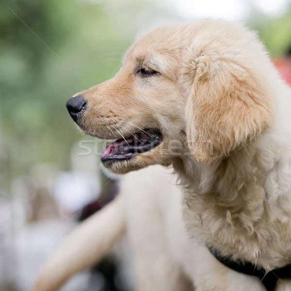 Golden retriever puppy jonge tong vergadering huisdier Stockfoto © art9858