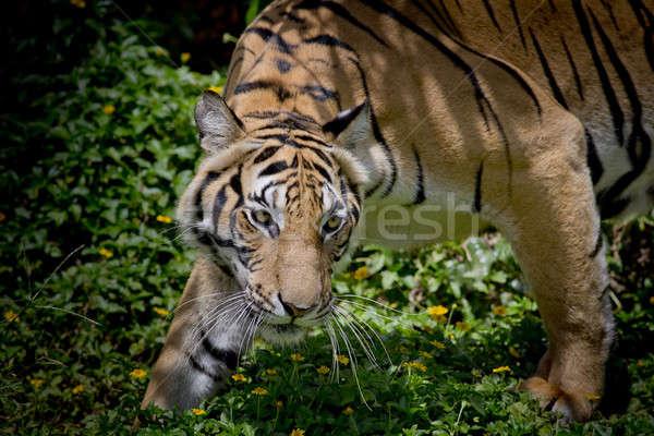 Bianco nero tigre guardando preda pronto Foto d'archivio © art9858