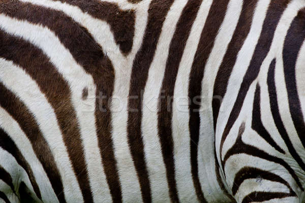 Zebra skin Stock photo © art9858