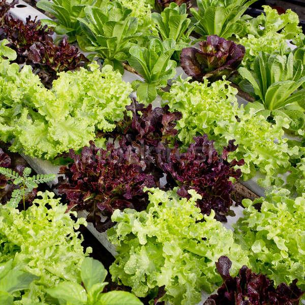 salad cultivation Stock photo © art9858