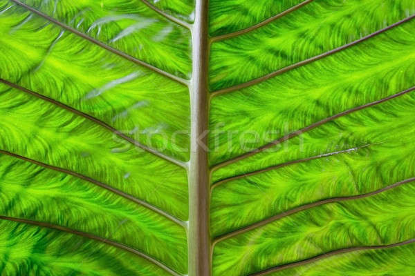 Grande hoja verde naturaleza verano planta tropicales Foto stock © art9858