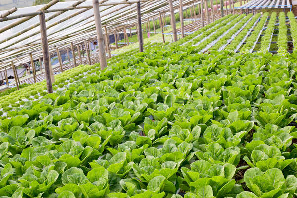 Organic hydroponic vegetable cultivation farm. Stock photo © art9858