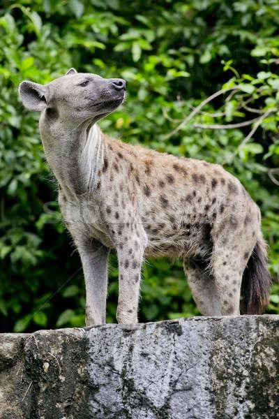 close up of a Hyena Stock photo © art9858