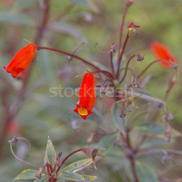 Orange flowers, bouquet of gerber Stock photo © art9858