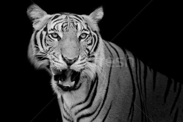 Stockfoto: Zwart · wit · tijger · naar · buit · klaar
