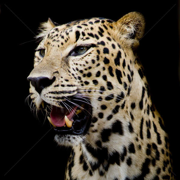 Luipaard portret natuur zwarte park boos Stockfoto © art9858