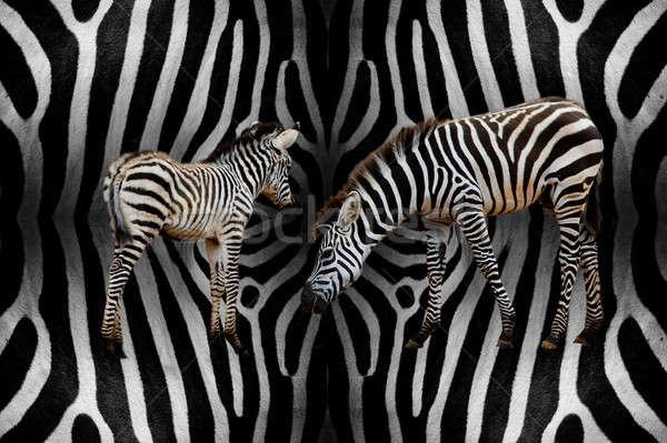 Cebra bebé textura resumen naturaleza negro Foto stock © art9858