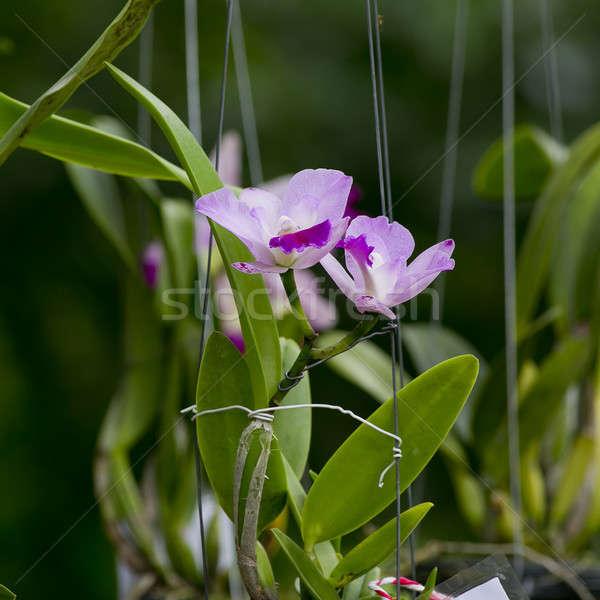 Lila orchidea kert háttér szépség zöld Stock fotó © art9858