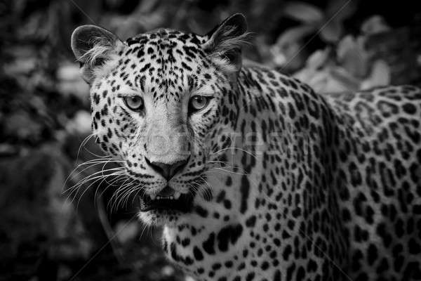 Close up portrait of leopard with intense eyes Stock photo © art9858
