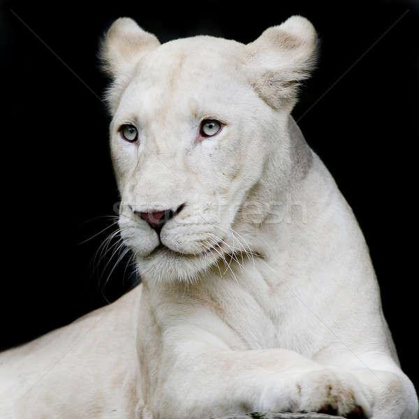 Close-up portrait of female lion Stock photo © art9858