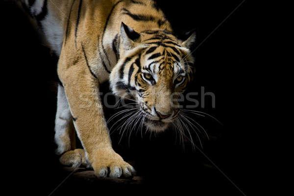 Foto stock: Belo · tigre · caminhada · passo · isolado · preto