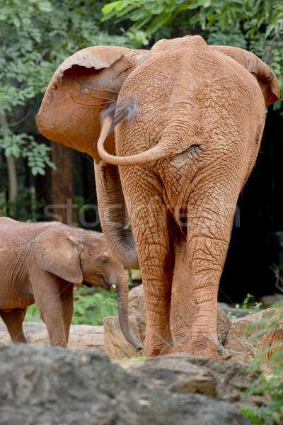 Two elephants form back side Stock photo © art9858