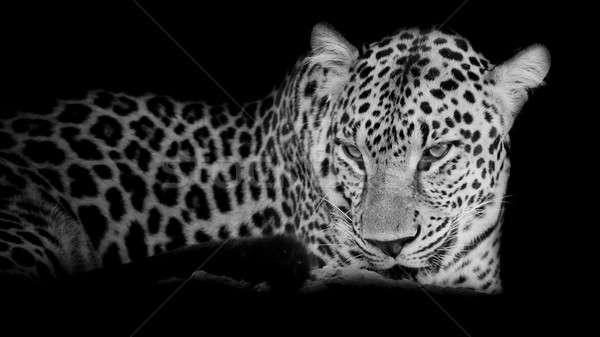black & white Leopard portrait isolate on black background Stock photo © art9858