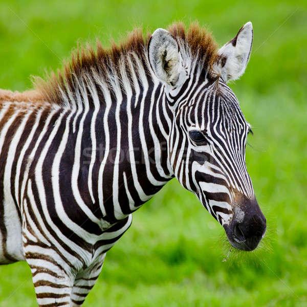 Zebra gezicht paard zwarte hoofd park Stockfoto © art9858