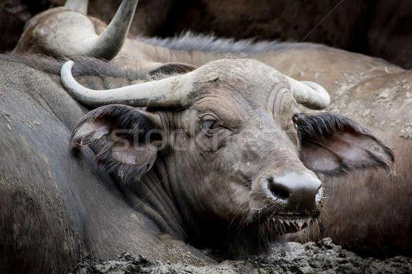 African buffalo bull Stock photo © art9858