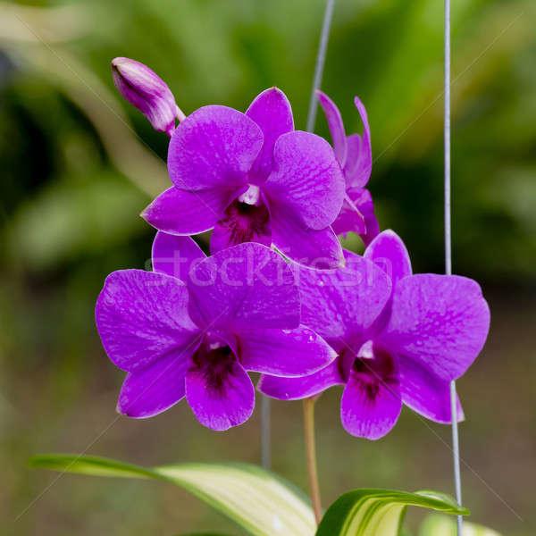Сток-фото: Purple · орхидеи · цветы · цветок · воды · свадьба