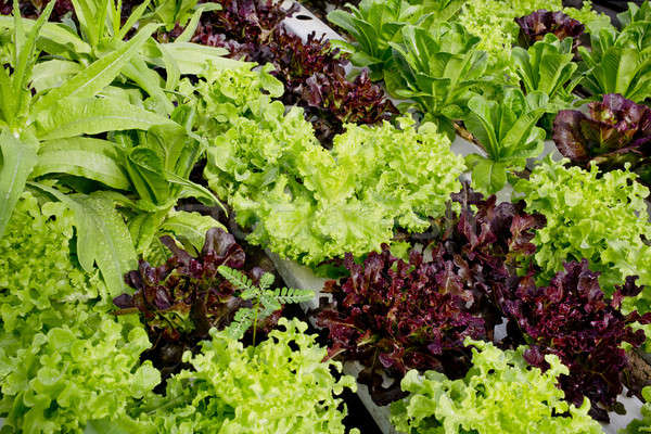 salad cultivation Stock photo © art9858