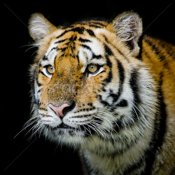 Tigre natureza gato beleza verde rio Foto stock © art9858