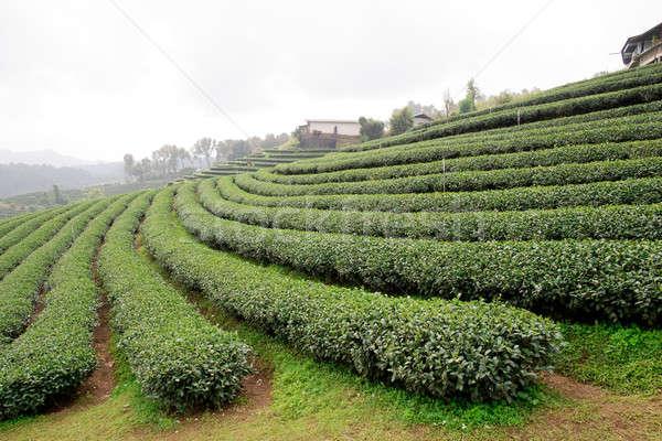 Zöld tea ültetvény tájkép üzlet természet egészség Stock fotó © art9858