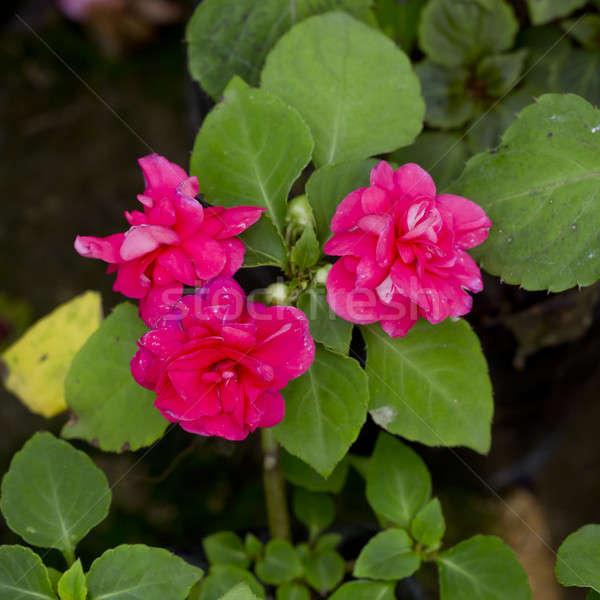Roz floare ghiveci de flori floare casă frumuseţe vară Imagine de stoc © art9858