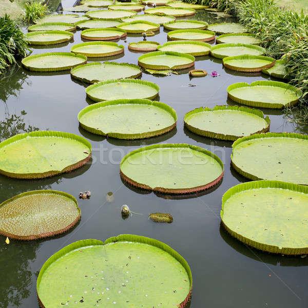 Legnagyobb víz liliom világ tavasz erdő Stock fotó © art9858