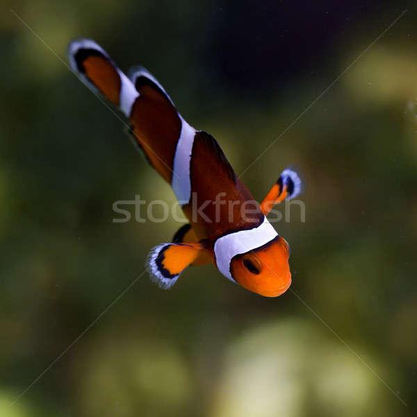reef fish , clown fish or anemone fish Stock photo © art9858