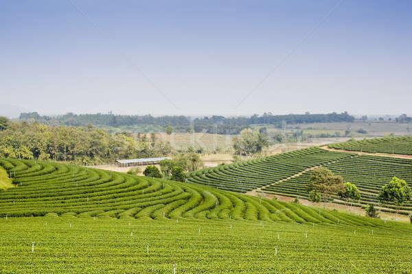 зеленый чай плантация пейзаж бизнеса дерево саду Сток-фото © art9858