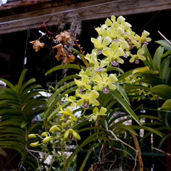 green orchid Stock photo © art9858