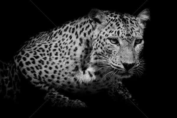 Zwarte witte luipaard portret oog Stockfoto © art9858