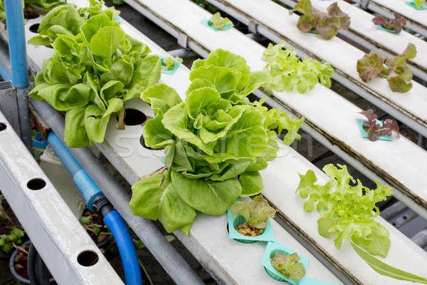 Stock photo: Organic hydroponic vegetable garden in Thailand merket