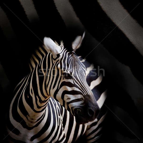 Zebra arc ló fekete fej park Stock fotó © art9858
