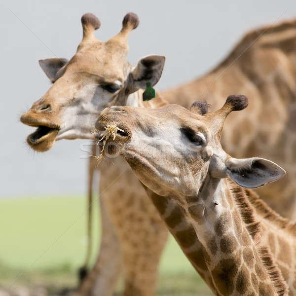 Close up shot of couple giraffe head Stock photo © art9858