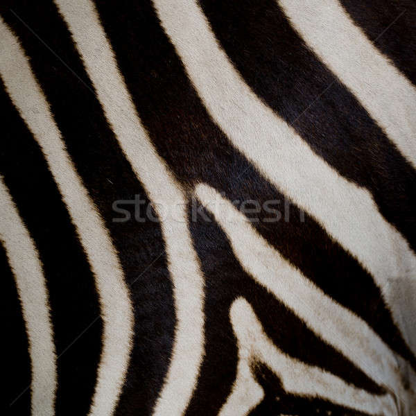 Zebra bőr textúra háttér park bemutató Stock fotó © art9858