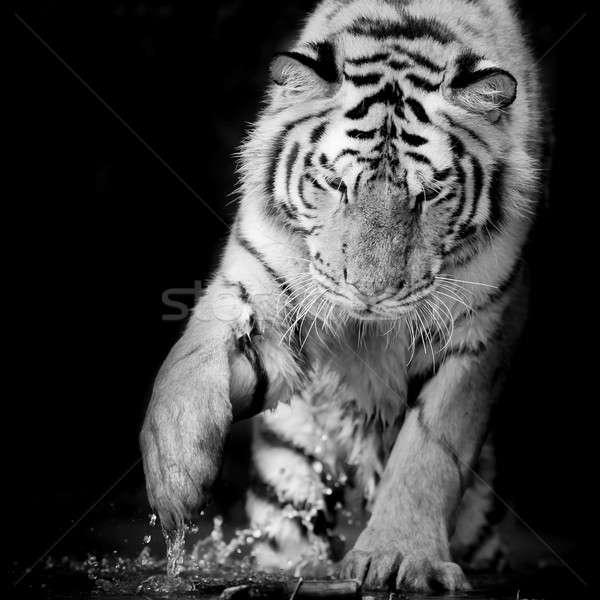 черный белый тигр зима портрет животного Сток-фото © art9858